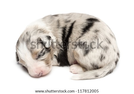 Australian Shepherd puppy sleeping, 11 days old against white background