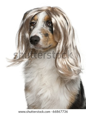 Australian Shepherd puppy wearing a wig, 5 months old, in front of white background - stock photo