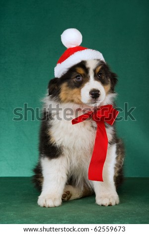 Australian Shepherd puppy with Santa hat and red bow