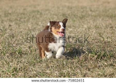 Australian shepherd running - stock photo