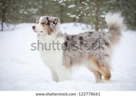 Australian Shepherd`s portrait over winter forest background - stock photo