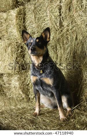Australian Shepherd sitting amongst bales of hay in a barn. Vertical shot. - stock photo