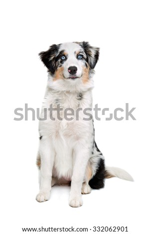 Australian shepherd sitting in front of a white background - stock photo