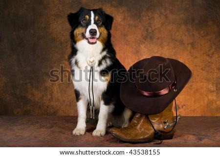 Australian Shepherd with cowboy gear on mottled brown backdrop - stock photo