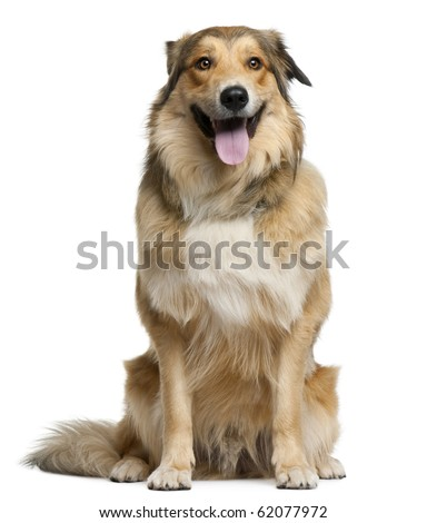 Australian shepherd, 2 years old, sitting in front of white background