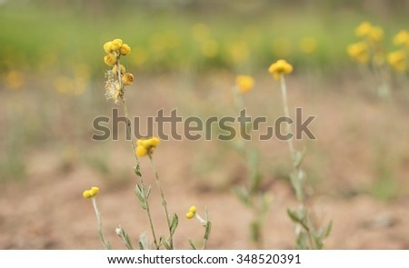 Australian Spring wildflowers panorama with yellow Buttons, Woollyheads or  Billy Buttons, a daisy like plant in flower in eucalypt grassland, known as Chrysocephalum apiculatum or Helichrysum - stock photo