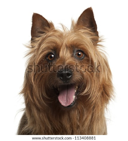 Australian Terrier, 8 years old, against white background - stock photo