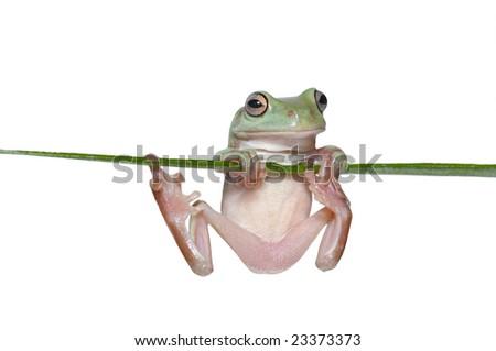 Australian Tree Frog (Litoria caerulea) hang on Branch - stock photo