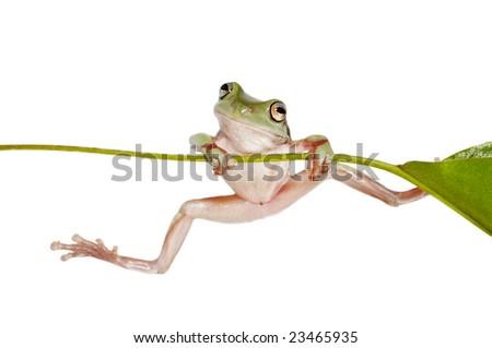 Australian Tree Frog Litoria caerulea on Branch - stock photo