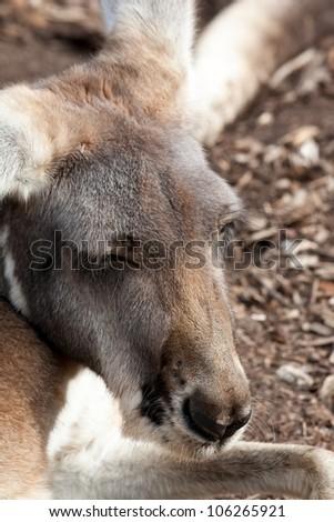 Australian Wallaby - stock photo