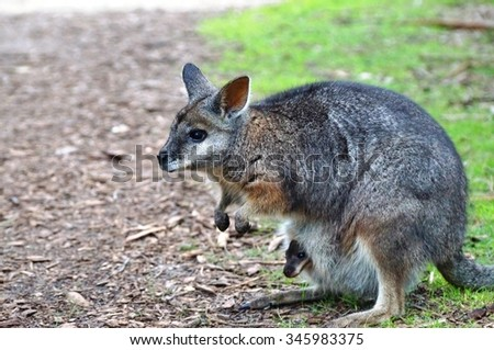 Australian wallaby with a baby joey in her pouch - stock photo