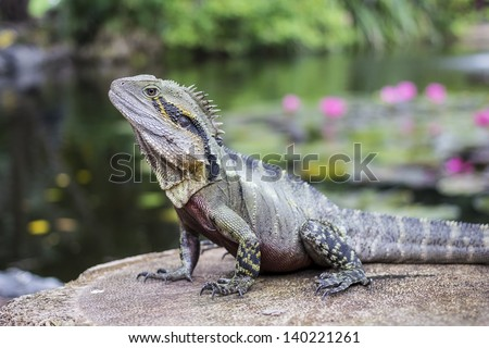Australian Water Dragon - stock photo