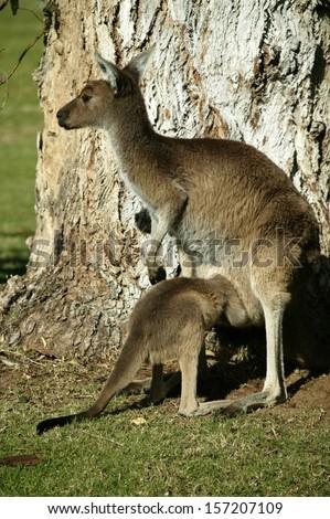 Australian Western Grey Kangaroos in open bushland - stock photo