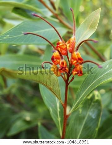 Australiana australian native plant Grevillea venusta in flower with green foliage - stock photo