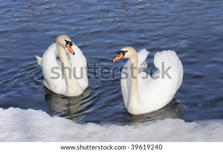 Austria. Zell-Am-See. Couple of tender swans on the blue lake surface with ice - stock photo