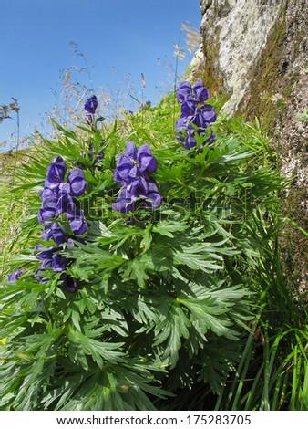 Austrian Alps, High Tauern National Park, monkshood, aconitum napellus - stock photo