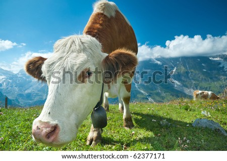 Austrian cow grazing in an alpine meadow, mountains in the background - stock photo