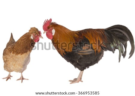 Austrian Sulmtaler rooster and hen  chickens isolated on white background - stock photo