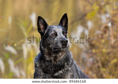 ausyralian cattle dog portrait - stock photo