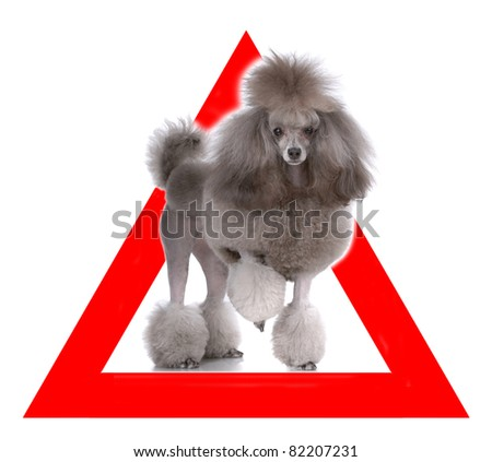Auto sticker with poodle on it isolated on white - stock photo