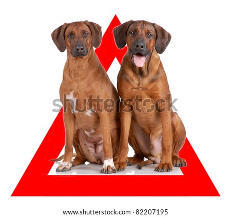 Auto sticker with Rhodesian Ridgeback on it isolated on white - stock photo