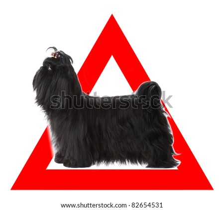 Auto sticker with Shih Tzu dog on it isolated on white - stock photo