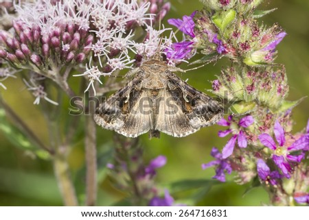 Autographa gamma,Silver Y on Eupatorium cannabinum,Hemp-agrimony, Germany, Europe - stock photo