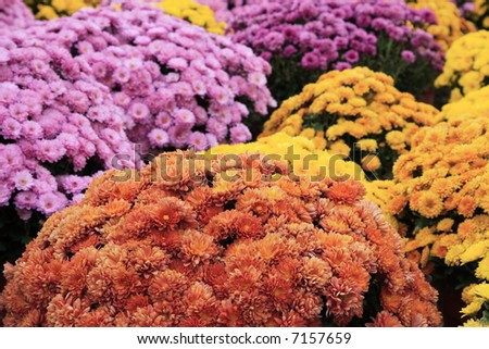 Autum mums in baskets at A roadside stand - stock photo