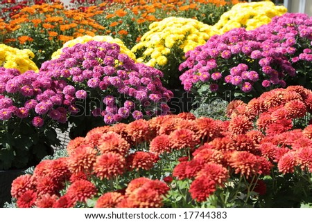 Autum mums in baskets at roadside stand - stock photo