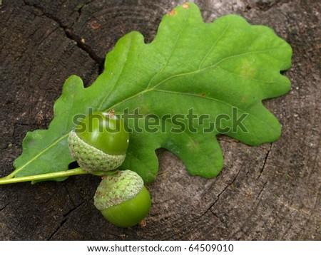 Autumn acorns with leaf - stock photo