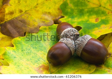 Autumn acorns with leaves - stock photo