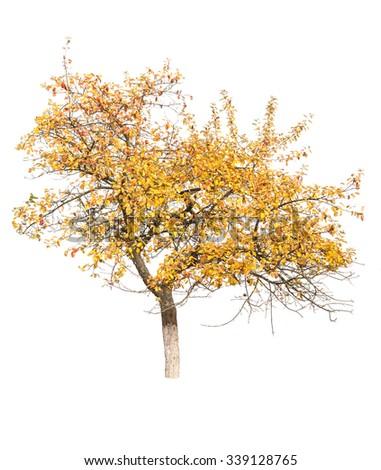 autumn apple tree isolated on white - stock photo