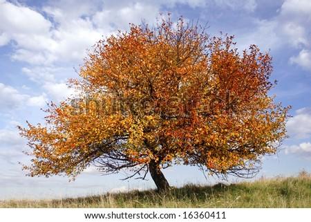 autumn apple-tree on background of blue sky - stock photo