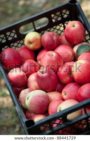 autumn apples in a box - stock photo