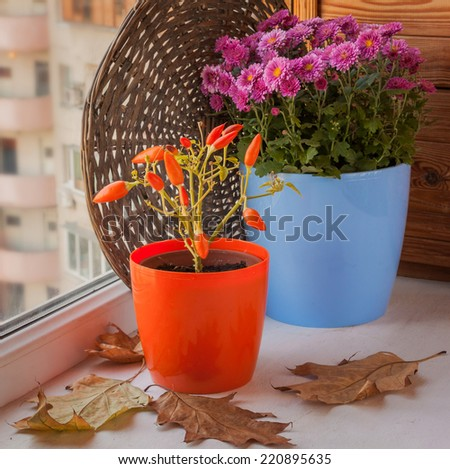 Autumn arrangement from decorative pepper and chrysanthemums on the window - stock photo