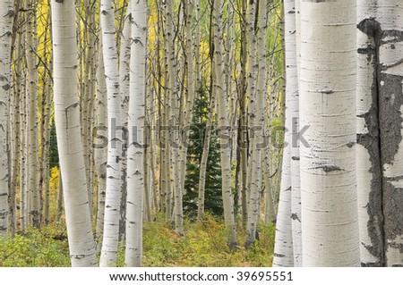 Autumn aspen forest Elk Mountains, Colorado, USA - stock photo