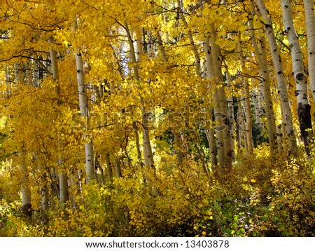 Autumn aspen grove - stock photo