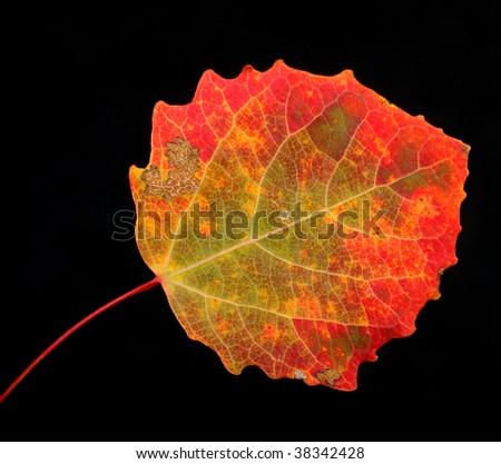 Autumn aspen leaf on a white background - stock photo