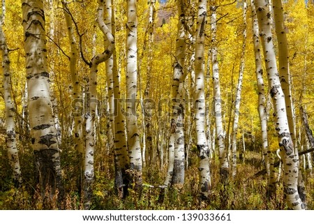 Autumn aspens up close to the trunks with vibrant autumn colors around them/White Skinned Aspens
