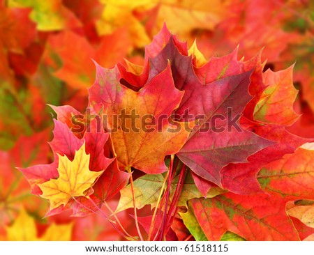 autumn background from colored maple foliage