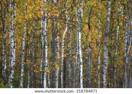 Autumn background of young thin birches with yellow and green leaves
