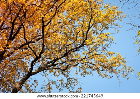 Autumn background. Tree on blue sky with golden leaves in autumn. Beautiful colorful autumn leaves. - stock photo
