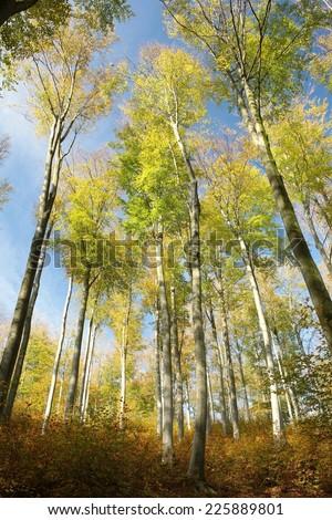 Autumn beech forest against the blue sky. - stock photo