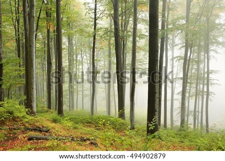 Autumn beech forest in foggy weather.