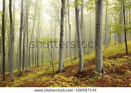 Autumn beech forest in the fog.