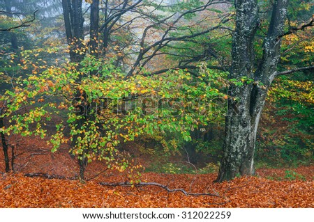 Autumn beech forest in the mountains. Beauty in nature - stock photo