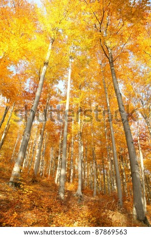 Autumn beech forest on a sunny October's morning. - stock photo