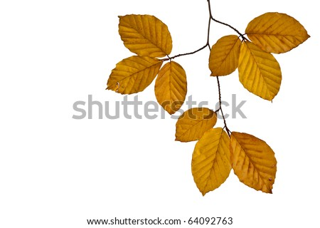 Autumn Beech Leaves isolated on white background - stock photo