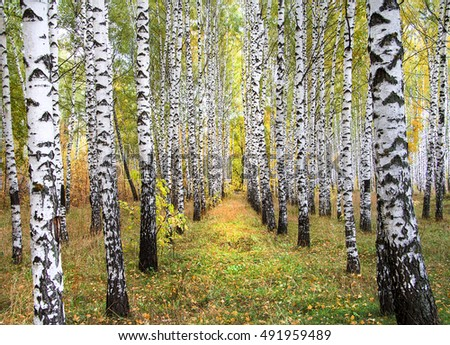 Autumn birch forest in sunlight