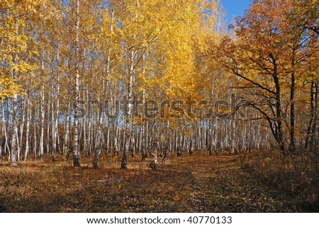 Autumn Birch Grove - stock photo